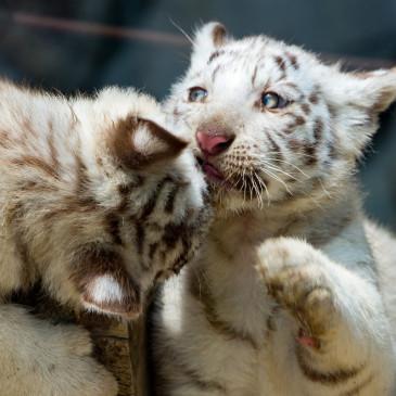東武動物公園 ホワイトタイガーの赤ちゃん