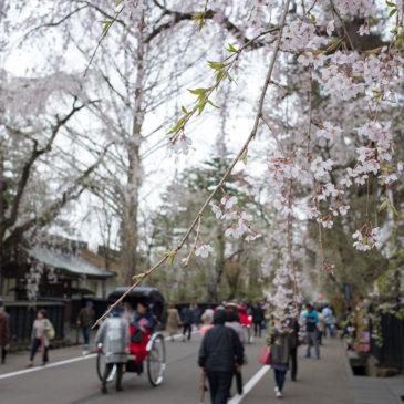 角館の桜と親子丼