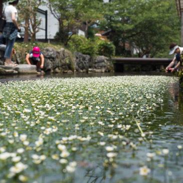 醒ヶ井 養鱒場と梅花藻と