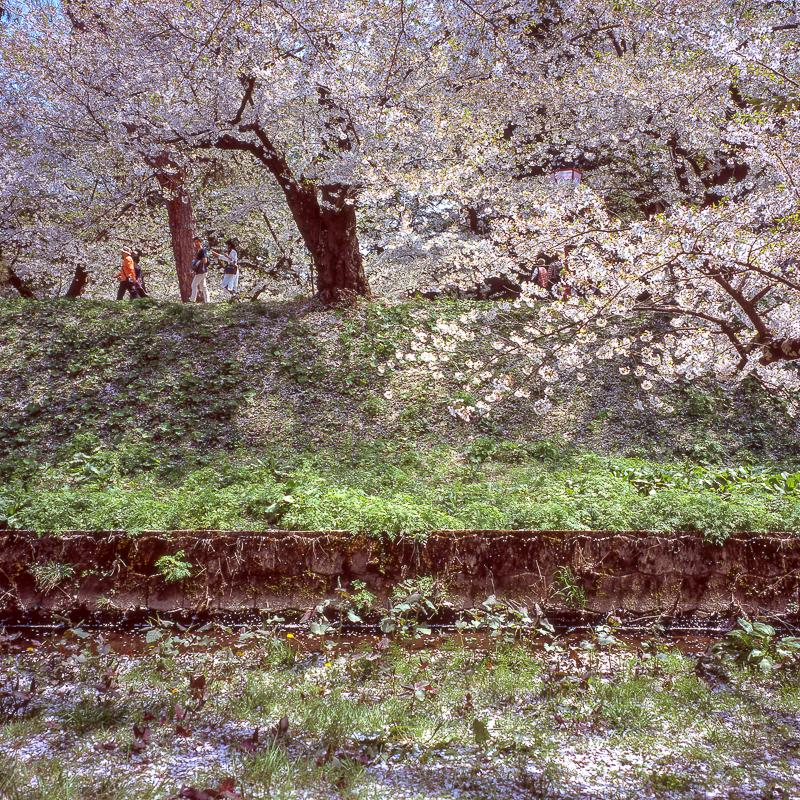 弘前公園の桜 2018