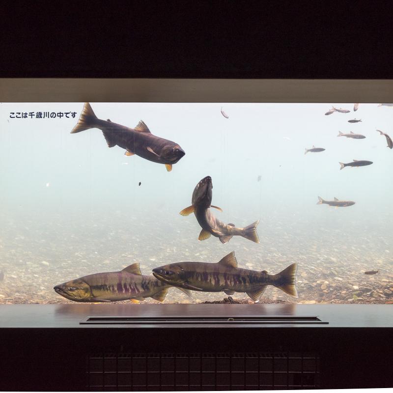 サケのふるさと千歳水族館で遡上サケ観察
