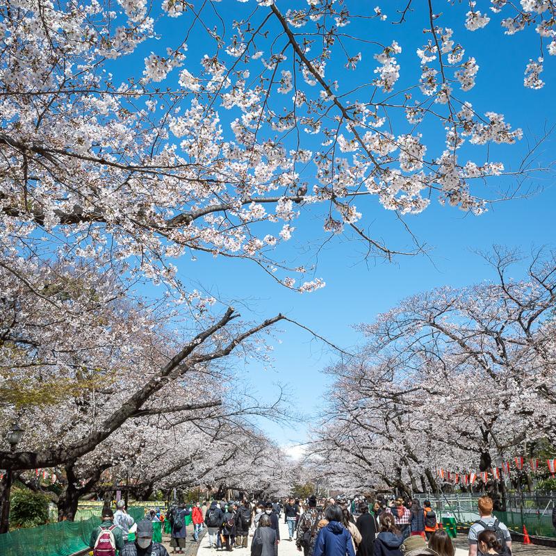 上野公園の桜2020